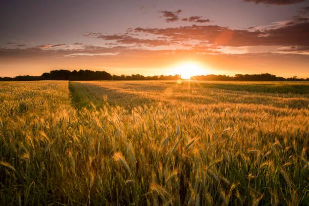 Idyllischer Blick auf Weizenfarm während des Sonnenuntergangs – Foto
