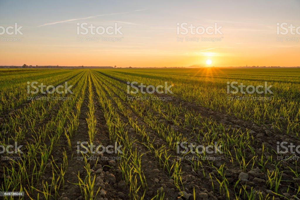 Idyllic view of young wheat crops during sunset stock photo