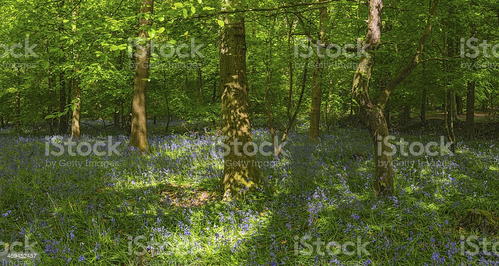 Idyllic wild woods vibrant green foliage and bluebells panorama royalty-free stock photo