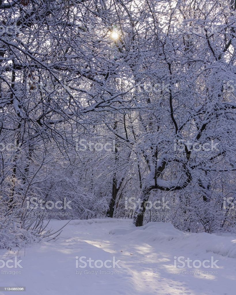 Idyllic winter scene in the woods with the sun shining through the trees onto the snow covered ground stock photo