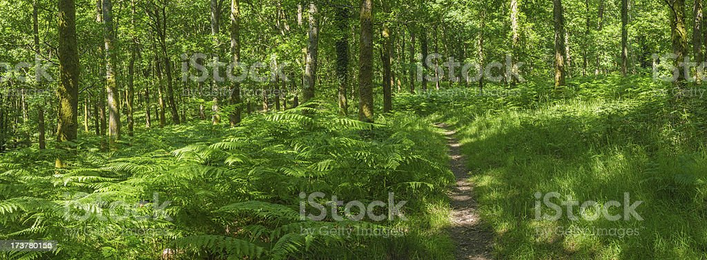 Idyllic woodland trail through vibrant green fern forest panorama royalty-free stock photo