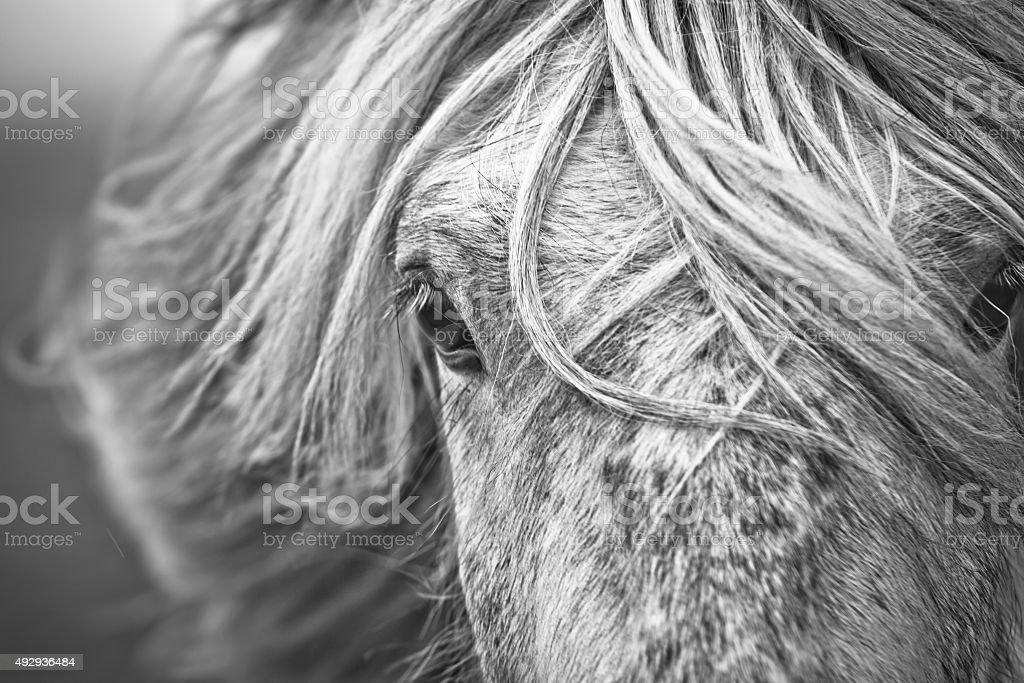 ieland horse stock photo