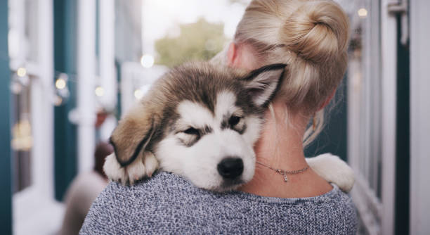 If cute was a picture Rearview shot of a young woman carrying her adorable husky puppy at home husky dog stock pictures, royalty-free photos & images