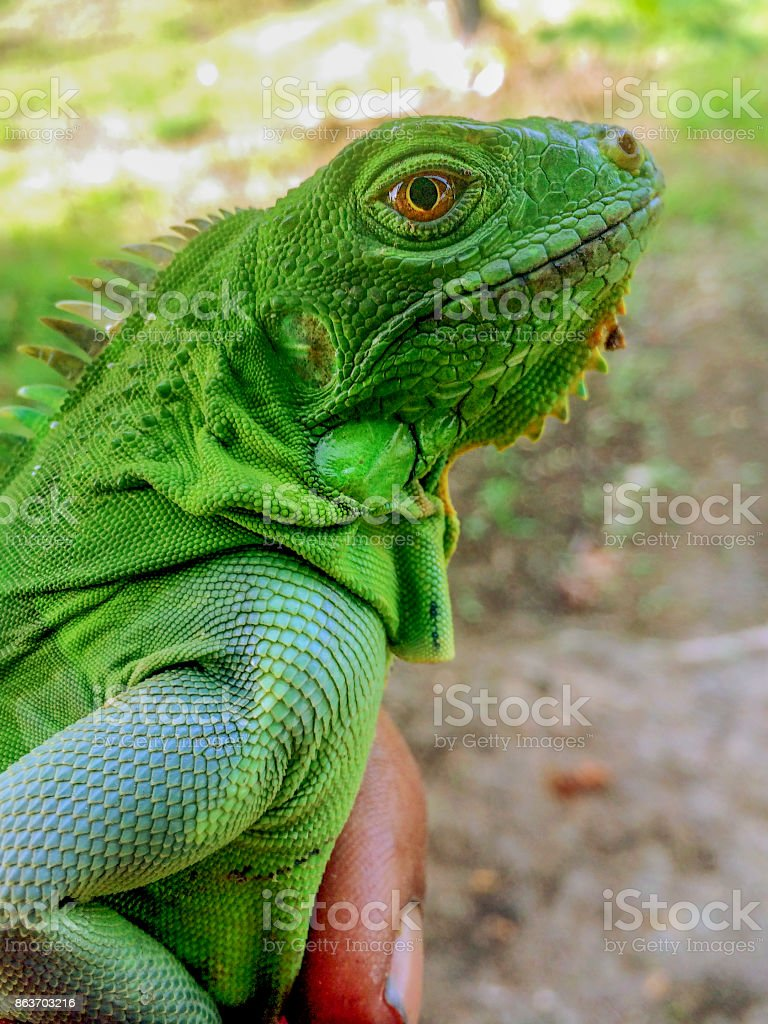 Iguana being held in hand stock photo
