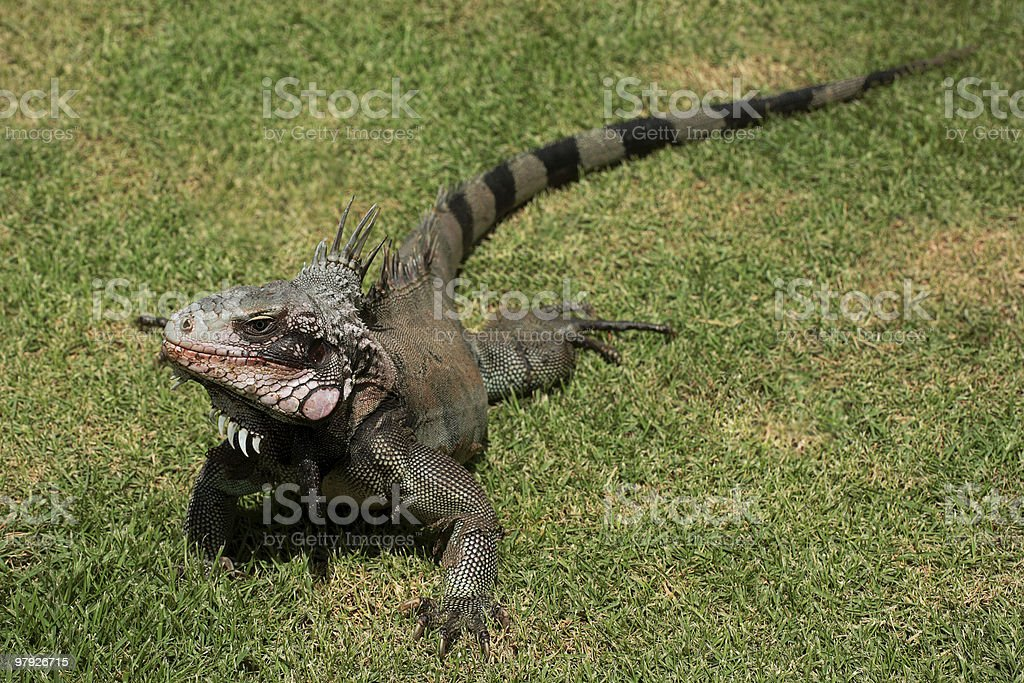 Iguana Crawling in the Grass royalty-free stock photo