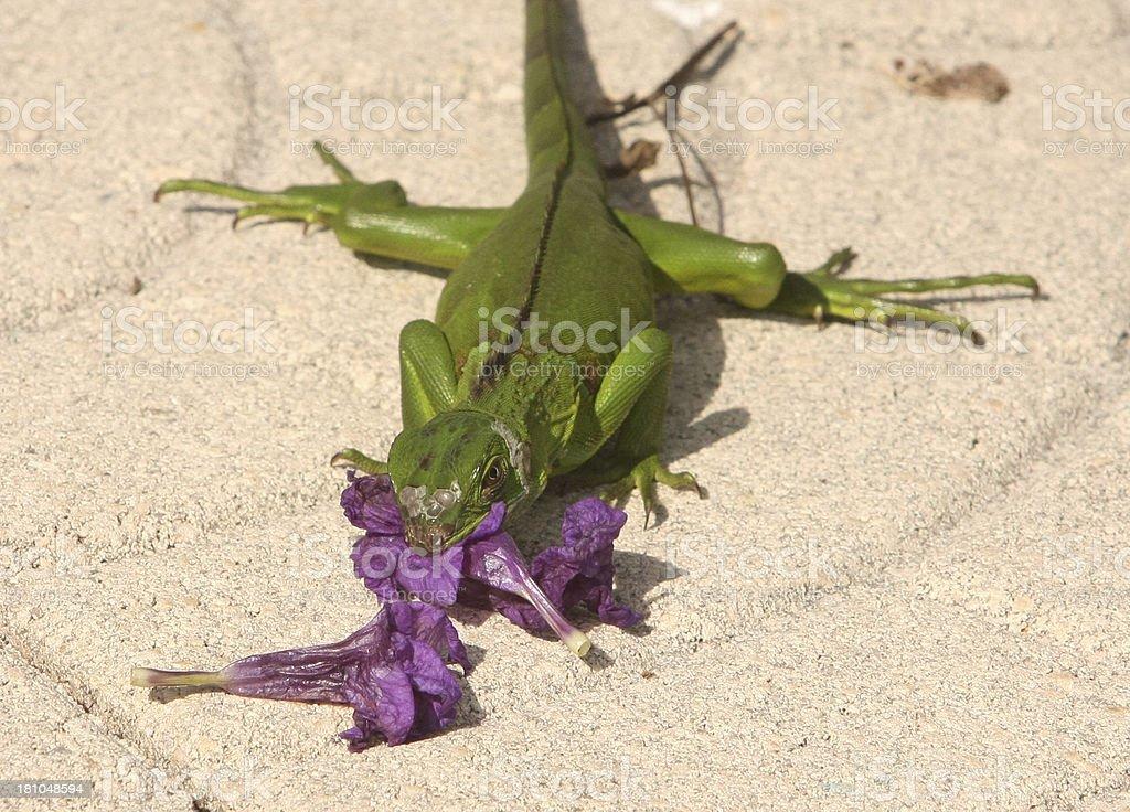 Iguana eating a purple flower royalty-free stock photo