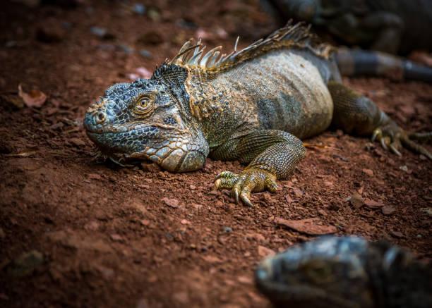 Iguana Exposition in einer Leguan Farm in Roatan, Honduras. – Foto