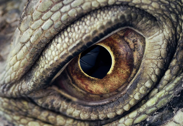 Iguana Eye Closeup Macro photo of a green iguana animal eye stock pictures, royalty-free photos & images