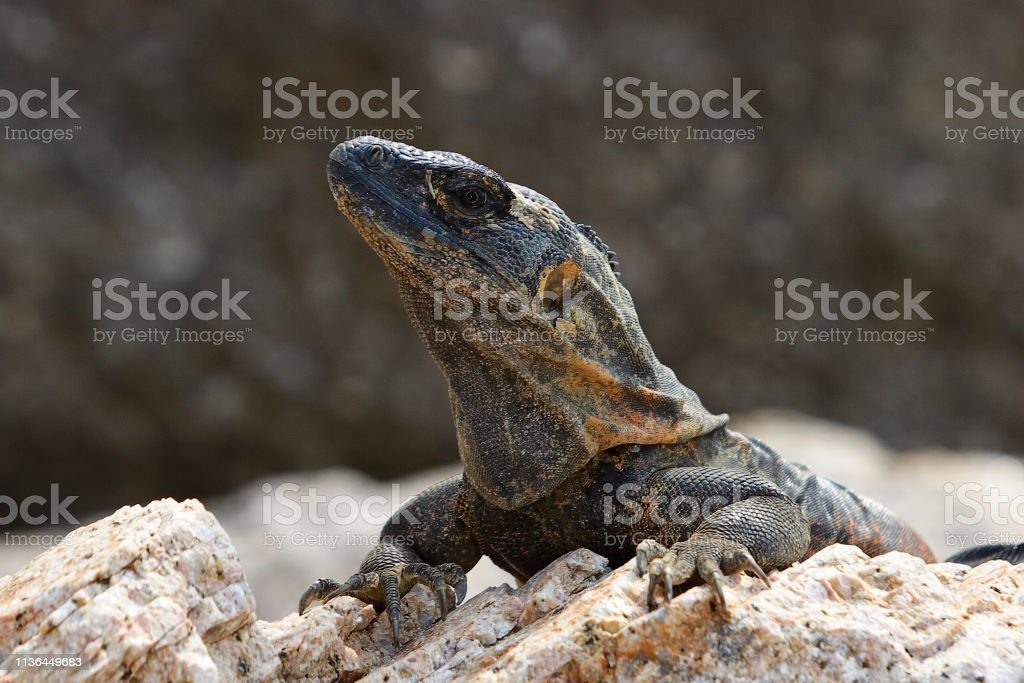 Iguana head close up stock photo
