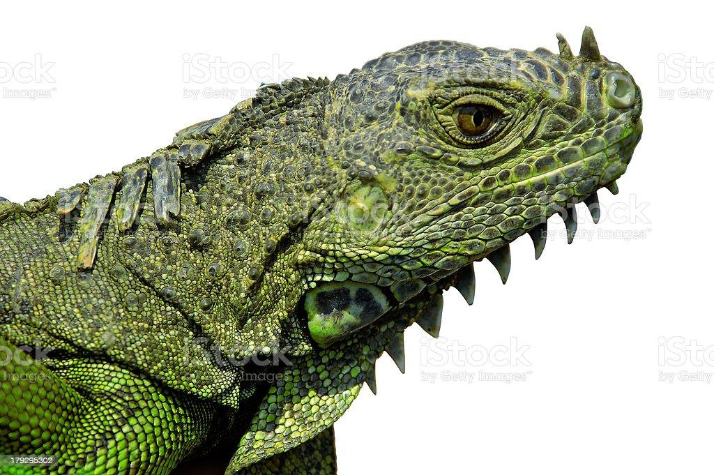 Iguana Head w/Paths royalty-free stock photo