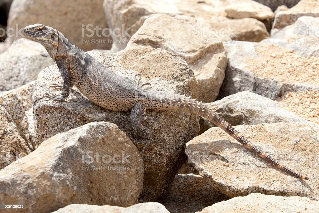 Iguana (female) in Cabo San Lucas, Mexico stock photo