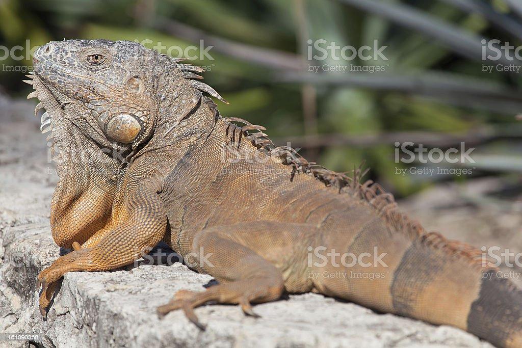 Iguana in Cancun, Mexico stock photo