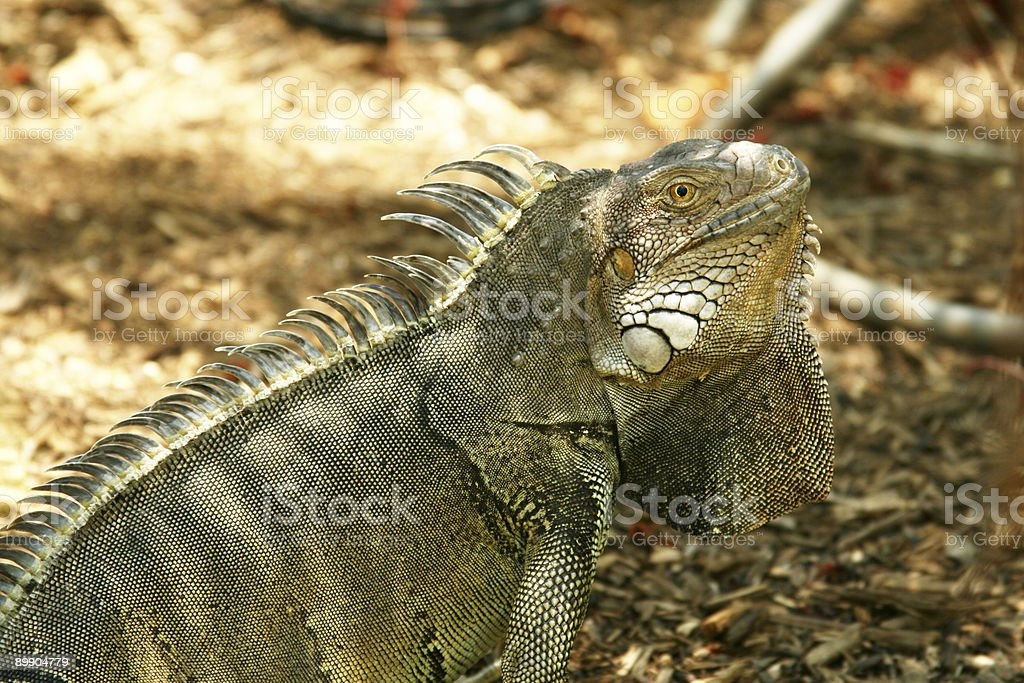iguana in natural setting royalty-free stock photo