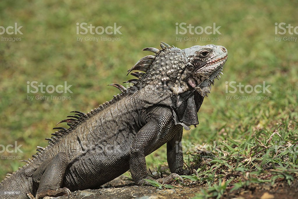 Iguana in the Grass royalty-free stock photo