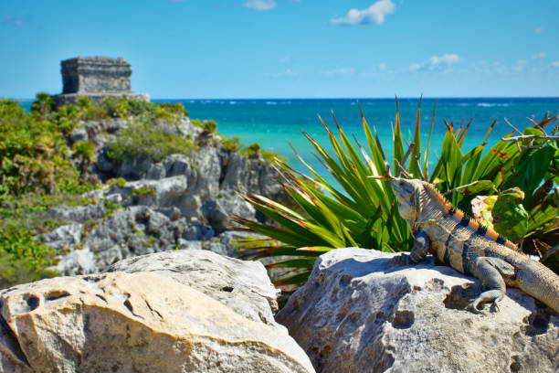 Iguana in the sun admiring the beautiful view of Tulum. In the background, Mayan ruins, and Caribbean coast. stock photo