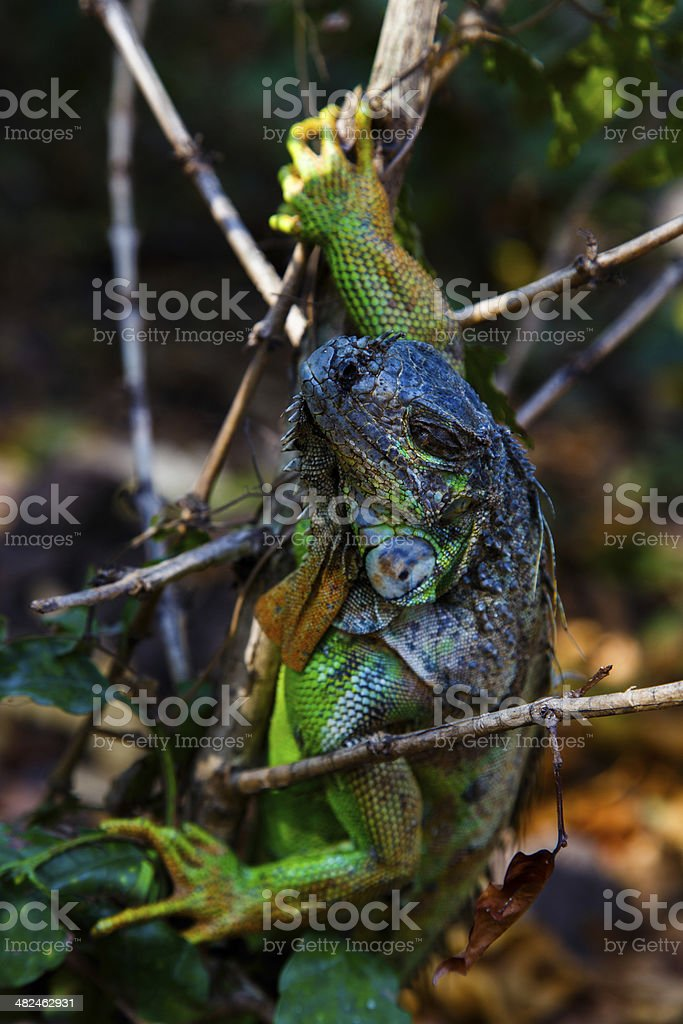 Iguana in tree stock photo