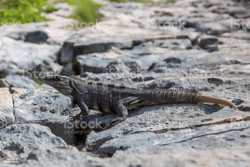 Iguana in Tulum ruins royalty-free stock photo