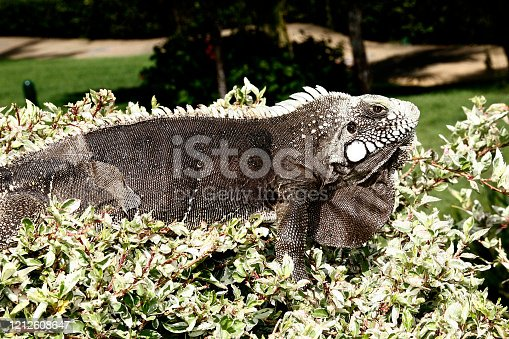 istock Iguana is a genus of omnivorous lizards 1212608647