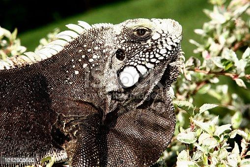 istock Iguana is a genus of omnivorous lizards 1212608650