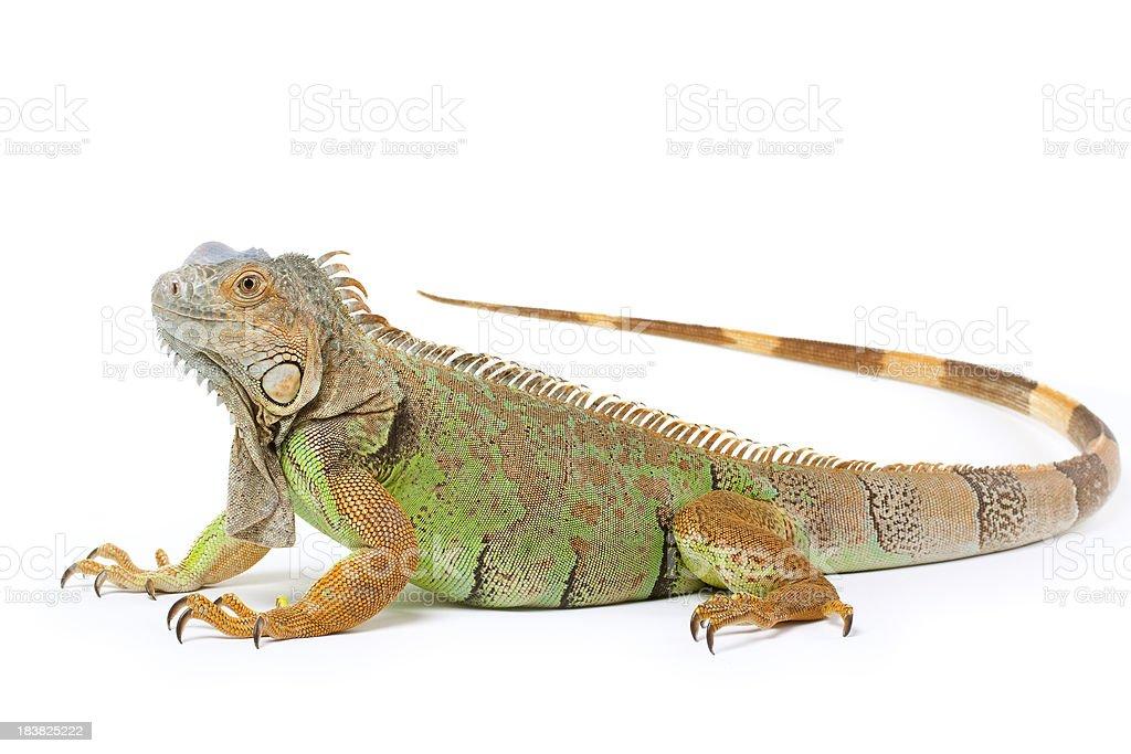 Iguana Isolated on White royalty-free stock photo
