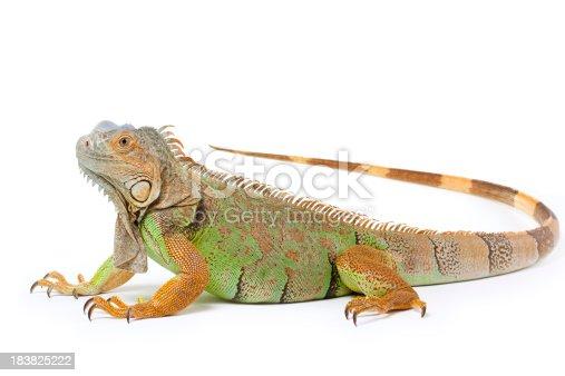 Single green iguana on white