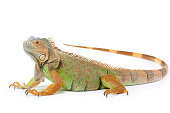 Single green iguana on white
