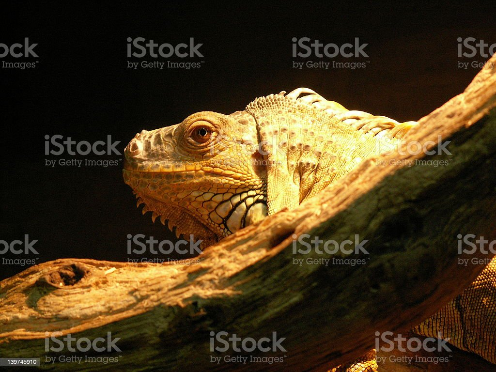 Iguana looking stock photo