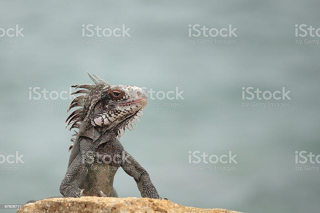 Iguana on a Rock By the Bay royalty-free stock photo