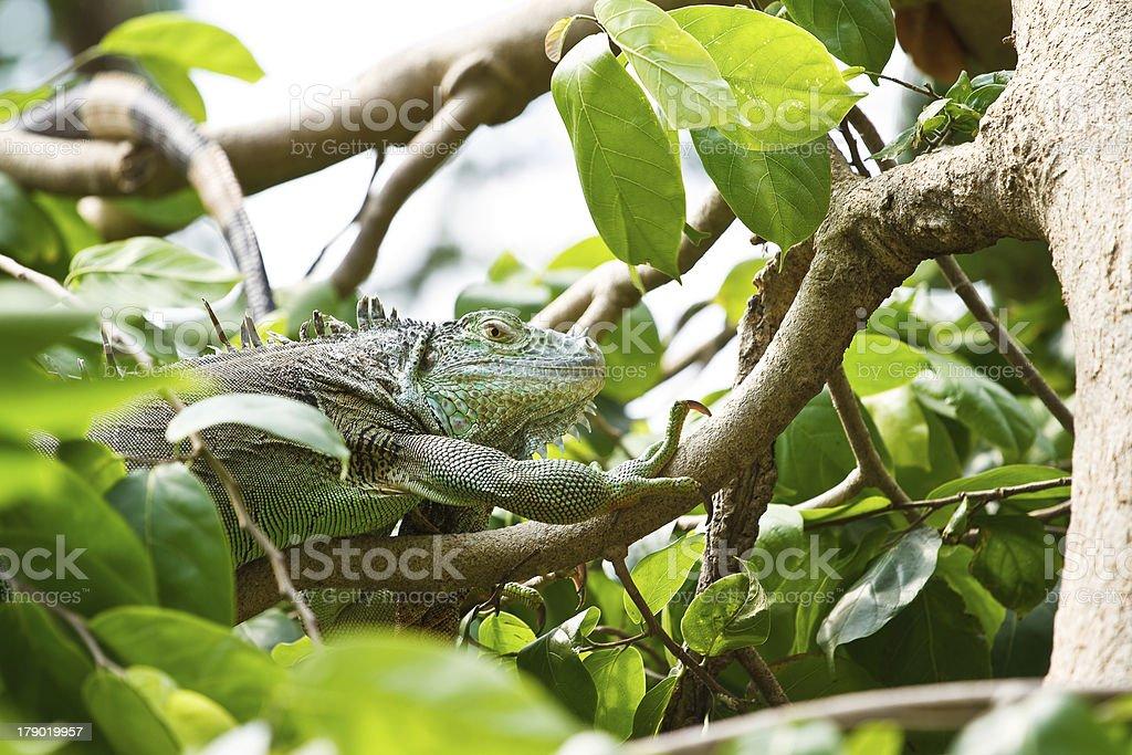 Iguana on a tree. royalty-free stock photo