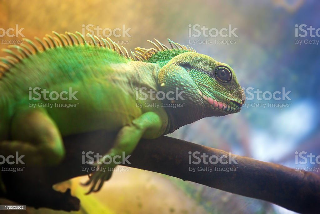 Iguana on branch royalty-free stock photo