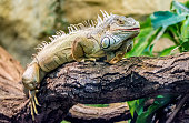 Iguana climbs a tree and takes a break
