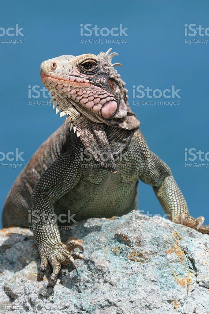 Iguana on St. John royalty-free stock photo