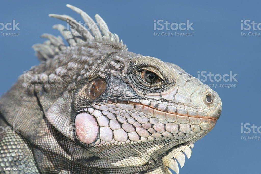 Iguana de St. Thomas foto de stock libre de derechos