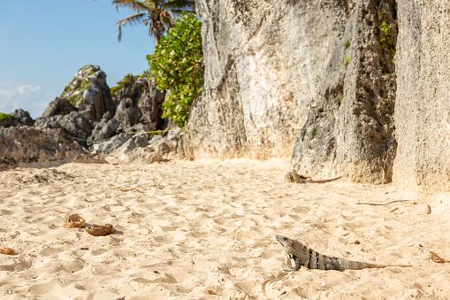 Iguana on the beach in Mexico, Tulum