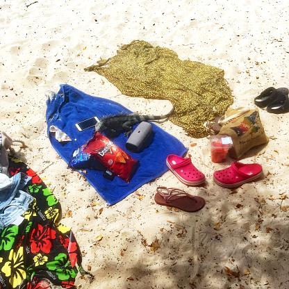 Playa PortoMari, Curacao, February 17th, 2020: Iguana on the Beach scavenging for Food on a Beach Towel.
