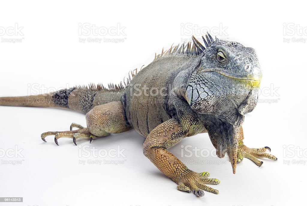 iguana on white background royalty-free stock photo