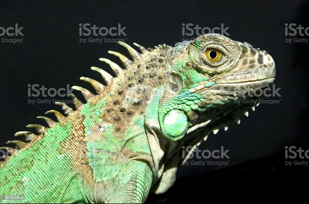 Iguana Green iguana shot on black background Animal Stock Photo