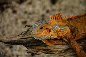 Beautiful orange iguana sunning on log.