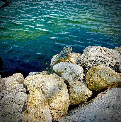 Iguana basking on rocks in Key Largo