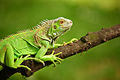 Iguana on a tree branch