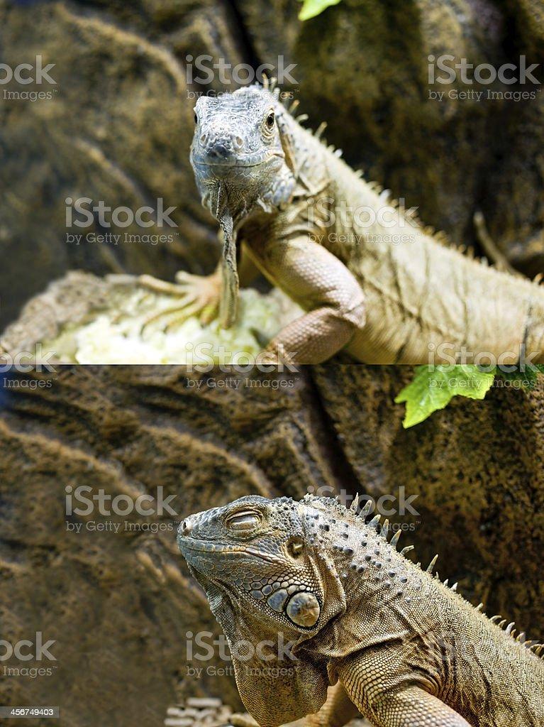 Iguana royalty-free stock photo