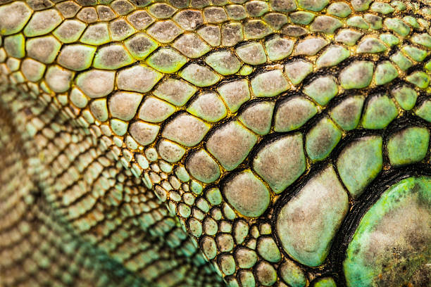 iguana - animal markings stock photos and pictures