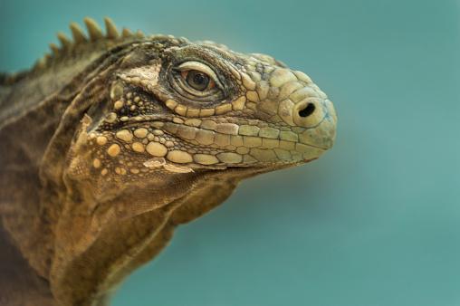 Iguana (Cuba)