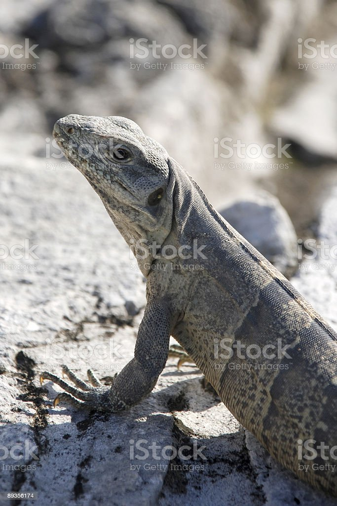 Iguana foto stock royalty-free