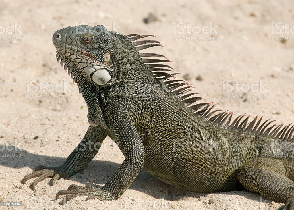 Iguana foto stock royalty-free