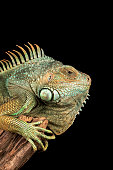 Common Iguana resting on wood