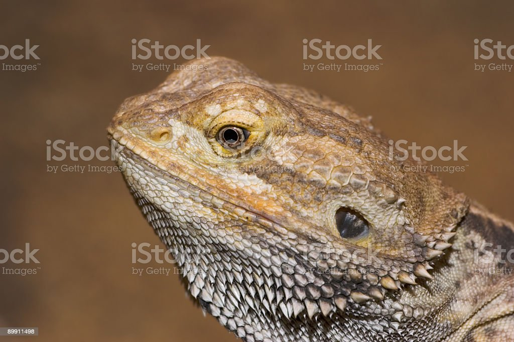 Retrato de la Iguana foto de stock libre de derechos