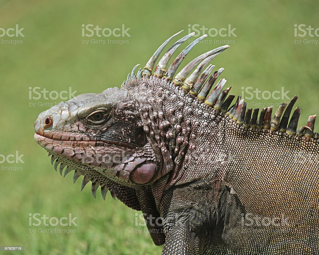 Iguana Portrait royalty-free stock photo