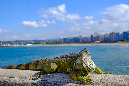 A large reptile basks in sunshine by a beach