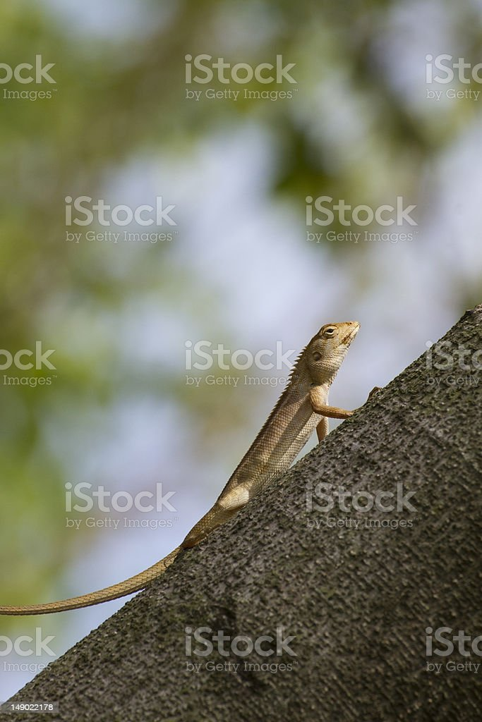 Iguana resting on a branch in gardens. stock photo